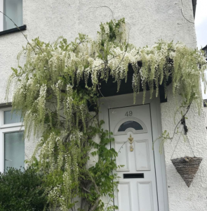 Wysteria over the front door